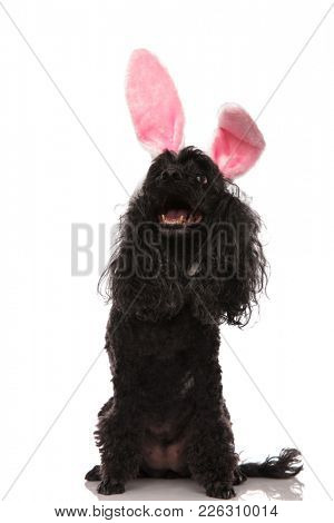 super happy poodle wearing easter  bunny ears and looks   up at something on white background