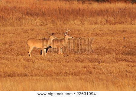 White Tailed Deer Roaming The Grasslands Of The Tallgrass Prairie Preserve Located In Pawhuska, Okla