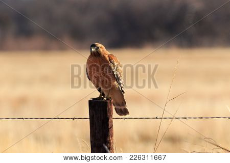 A Red Shouldered Hawk Sits Along The Backroads Of Oklahoma 2018