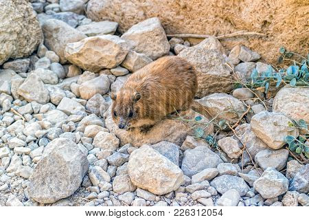 Rock Hyrax (procavia Capensis) At Ein Gedi National Park, Israel.