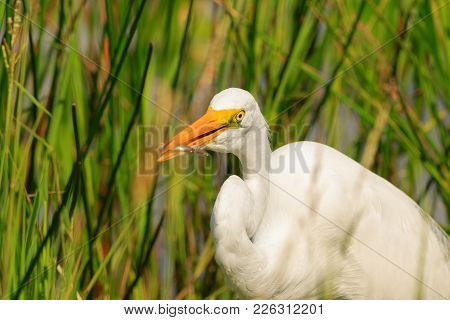 A Great Egret Fishing In The Marshes Of The Everglades National Park Located In Florida 2017