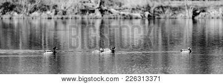A Female And Three Male, Drake, Mallard Ducks Swim In Sherry Lake, Drake, Taging Along At The Oxley