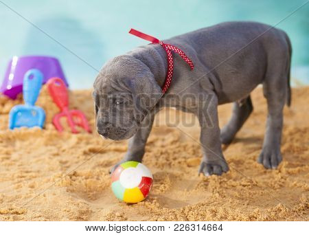 Great Dane Puppy Making It Obvious No One Can Touch Its Ball
