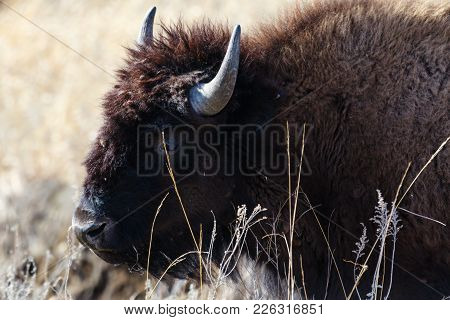 A American Bison Stands Within The Dry Grass At The Tallgrass Prairie Preserve In Pawhuska, Oklahoma