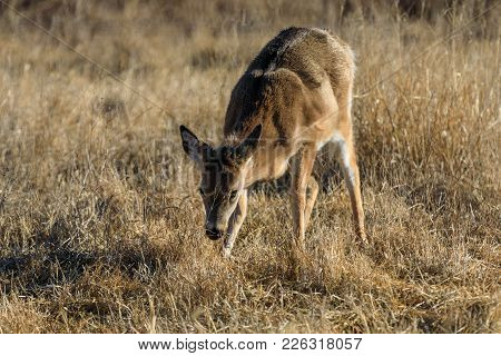 A Young White-tailed Deer Forages For The Best Grass At The Tallgrass Prairie Preserve In Pawhuska,