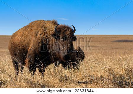 Bison Are A Comon Sight At The Tallgrass Prairie Preserve In Pawhuska, Oklahoma