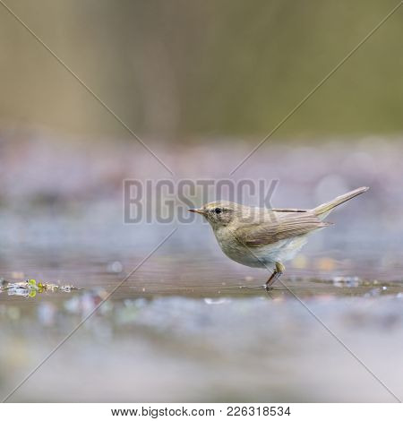 Eurasian wren near water in nature