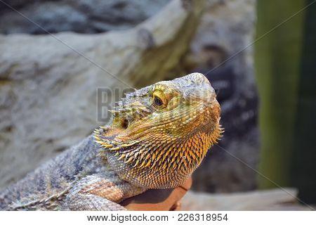 Yellow Iguana Zoo Standing On Rocks In The Zoo