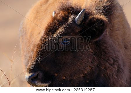 Close-up Of A Bison Calf At The Tallgrass Prairie Preserve In Pawhuska, Oklahoma