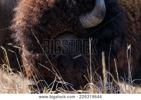 Cloe-up Of A Bison Face At The Tallgrass Prairie Preserve In Pawhuska, Oklahoma