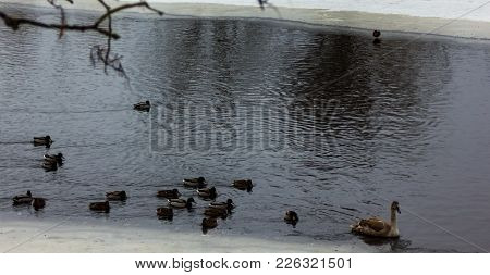 Grey Baby Swan Swimming In A Partly Frozen River In Cloudy Winter Day With The Crowd Of Ducks Follow