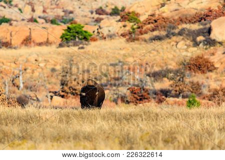 Bison Roam Wild Withing The Wichita Mountains National Wildlife Refuge, November 2017