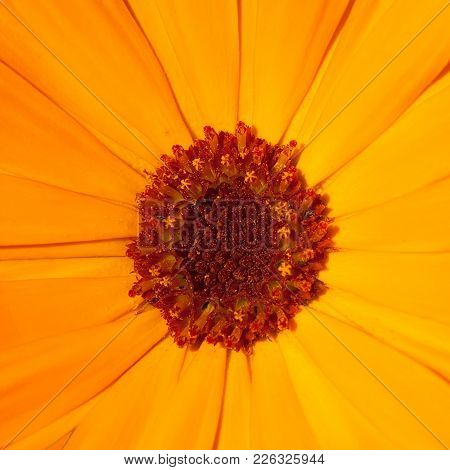 Beautiful Nature Summer Background. Blooming Calendula Officinalis Flowers Close Up. Top View. Color