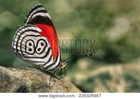 Beautiful Butterfly White, Black And Red Diaethria Also Called 88