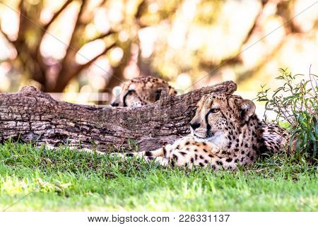 A powerful and fast cheetah rests next to a log in a shaded area during a safari
