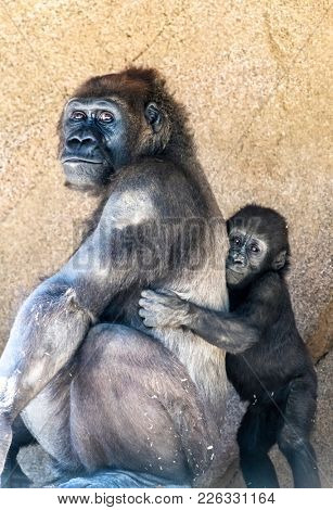 A female silverback gorilla with her young offspring shows the bond between mother and infant.