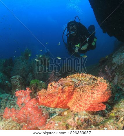 Scuba diver and scorpionfish. Dive with fish on underwater coral reef