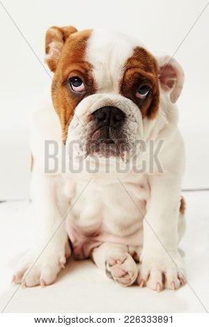 Studio Shot Of British Bulldog Puppy Standing On White Background