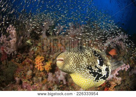 Map Puffer fish on coral reef