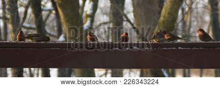 Flock Of House Finches And House Sparrows Perched On A Back Deck Porch Railing Eating Birdseed Anima