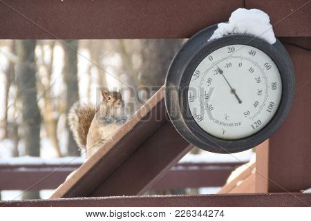 Grey Squirrel Seated Behind An Outdoor Thermometer Back Deck Porch Covered With Snow In Winter