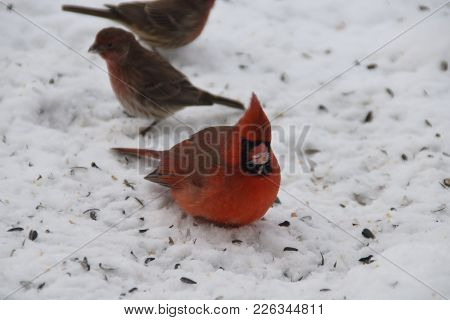 Male Northern Cardinal With A House Finch In Winter Standing On Snow With Snow Covered Beak Bird Ani