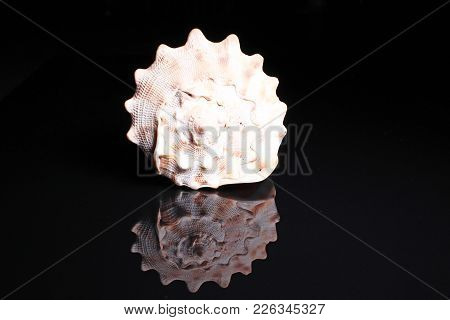 Sea Snail Shell. Big Sea Snail Shell On Black Reflective Studio Background. Isolated Black Shiny Mir