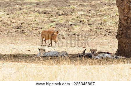 warthog walking past a pair of Cheetah (scientific name: Acinonyx jubatus or