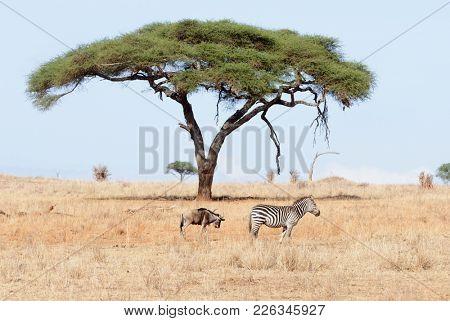 Burchell's Zebra (Equus burchelli ) and a wildebeest image taken on Safari located in the Tarangire