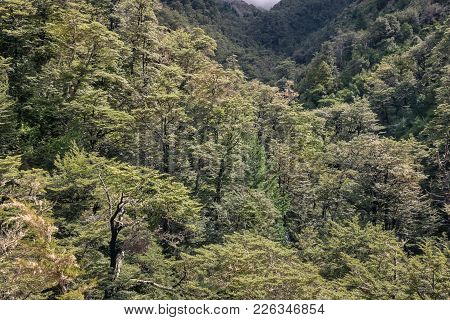 Southern Beech Forest In Southern Alps, South Island, New Zealand