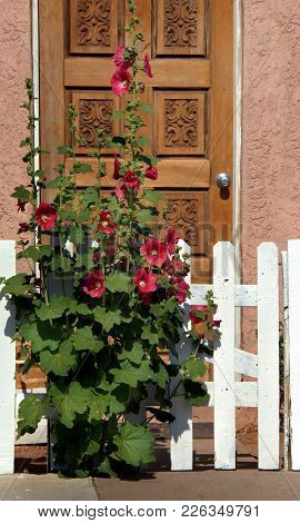 Red Hibiscus Blooms Besides A White Picket Fence.  Fence Is In Front Of A Adobe Home With Wooden Doo