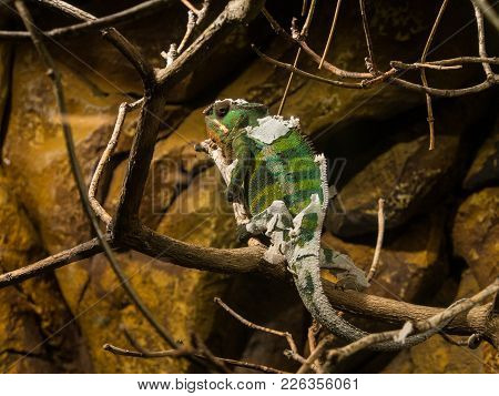 A Chameleon On A Brench Shedding Its Skin