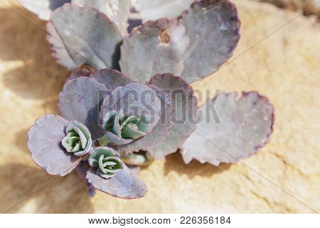 Succulents Or Cactus In Desert Botanical Garden With Sand Stone Pebbles Background. Succulents Or Ca