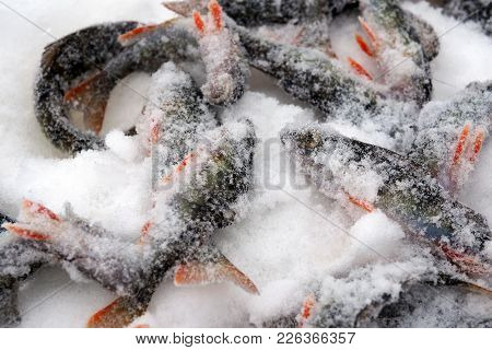 Fish Perch Flutter Freezing In Snow. Pisces Catch On The Ice Of The River. Winter Fishing Through Th