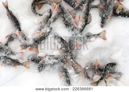 Fish  Flutter Freezing In Snow. Pisces Perch Catch On The Ice Of The River. Winter Fishing Through T