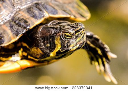 Photo Picture Common Turtle Slider Trachemys Scripta Animal Reptile Amphibian