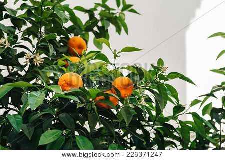 Low Angle View Of Orange Tree Against White Wall Background In Cordoba