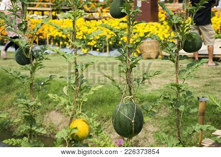 Yellow Watermelon And Green Watermelon Or Citrullus Lanatus Plant In Garden Of Agricultural Plantati