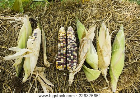 Glass Gem Corn Or Sweet Waxy Corn Hybrid From Agricultural Corn Plantation Farm At Countryside