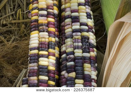 Glass Gem Corn Or Sweet Waxy Corn Hybrid From Agricultural Corn Plantation Farm At Countryside In No
