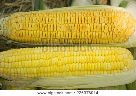 Zea Mays Line Var Saccharata Or Sweet Corn From Agricultural Corn Plantation Farm At Countryside In