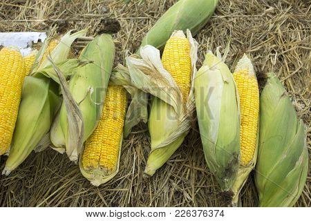 Zea Mays Line Var Saccharata Or Sweet Corn From Agricultural Corn Plantation Farm At Countryside