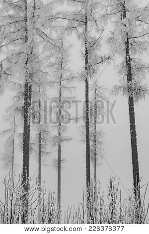 Winter forest. Snow covered trees.