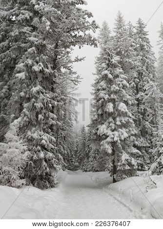 snow covered fir tree. Winter scenery. Amazing snowy landscape.