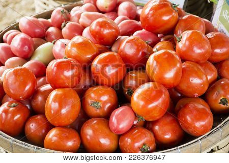 Harvesting Many Fresh Tomato Homegrown Vegetable For Show And Sale For Thai People In Vegetable And