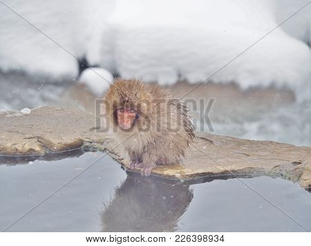 Portrait Of Baby Japanese Macaque (snow Monkey) At The Edge Of The Hot Spring Pool (onsen) At Jigoku