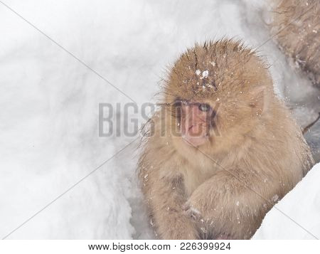Portrait Of Baby Japanese Macaque (snow Monkey) Sitting On The Snow Floor At Jigokudani Monkey Park