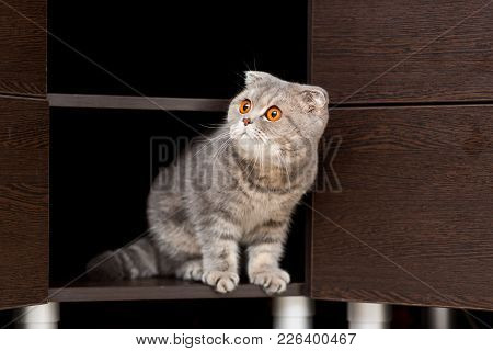 Cat Of The Breed Scottish Fold Looks Out Of The Closet With An Inquisitive Look