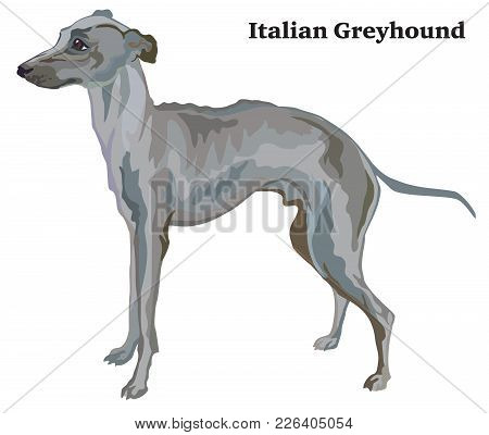 Portrait Of Standing In Profile Italian Greyhound, Vector Colorful Illustration Isolated On White Ba