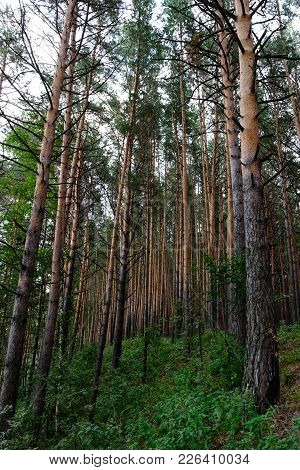 View From Below On An Edge Of A Pine Grove